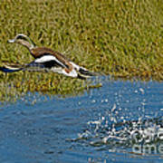 American Wigeon Taking Off Poster