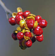 American Winterberry Poster