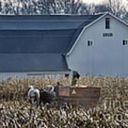 Amish Corn Picking And 1919 Barn Poster
