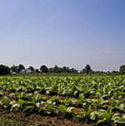 Amish Tobacco Fields Poster
