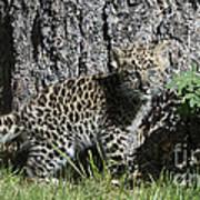 Amur Leopard Cub Antics Poster