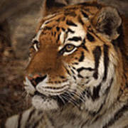 Amur Tiger 2 Poster by Ernie Echols