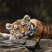 Amur Tiger Twin Poster