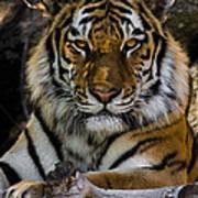 Amur Tiger Watching You Poster