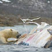 An Adult Polar Bear Ursus Maritimus Poster