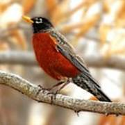An American Male Robin Poster