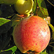 An Apple After Frost Poster