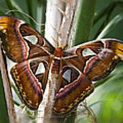 An Atlas Moth  Poster