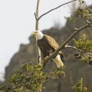 An Eagle In The Spring Poster