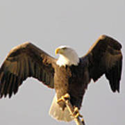 An Eagle Posing  Poster