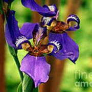 An Eyeful Iris Poster