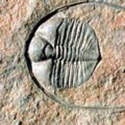 An Internal Fossil Cast Of Trilobite Poster