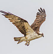 An Osprey Poster