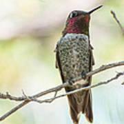 Ana Hummingbird Poster