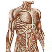 Anatomy Of Human Abdominal Muscles Poster