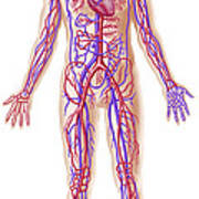 Anatomy Of Human Circulatory System Poster