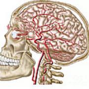 Anatomy Of Human Skull, Eyeball Poster by Stocktrek Images