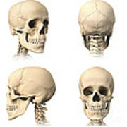 Anatomy Of Human Skull From Different Poster by Leonello Calvetti
