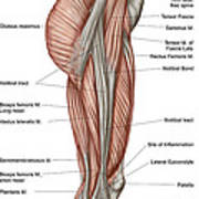 Anatomy Of Human Thigh Muscles Poster