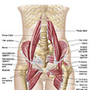 Anatomy Of Iliopsoa, Also Known Poster