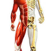 Anatomy Of Male Body With Half Skeleton Poster