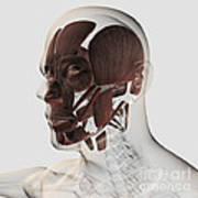 Anatomy Of Male Facial Muscles, Side Poster
