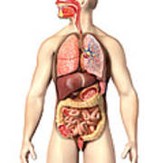 Anatomy Of Male Respiratory Poster