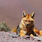 Andean Fox Portrait Poster