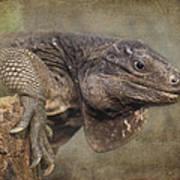 Anegada Ground Iguana - Houston Zoo Poster