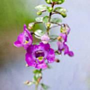 Angel Face Flower - Summer Snapdragon Poster