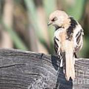 Angry Bird Bearded Reedling Juvenile Poster