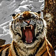 Angry Tiger Poster