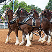 Anheuser Busch Budweiser Clydesdale Horses In Harness Usa Rodeo Poster