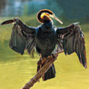 Anhinga Drying His Wings Poster