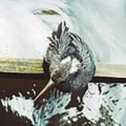 Anhinga Or Snakebird Poster