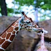 Animal - Giraffe - Sticking Out The Tounge Poster
