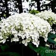 Annabelle Hydrangea Blossoms Poster