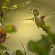 Rufus  Humming Bird  Poster