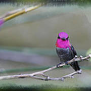 Anna's Hummingbird - Male Poster