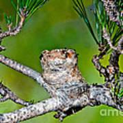 Annas Hummingbird Nest Poster