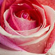 Anniversary Rose Poster