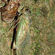 Annual Cicada Poster