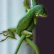 Anole Lovers Poster