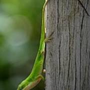 Anole Poster