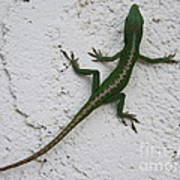 Anole On Stucco Poster