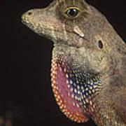 Anolis Lizard Portrait Peru Poster