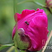 Ant On Peony Poster