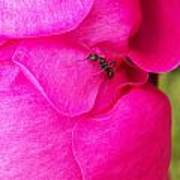 Ant On Pink Petals Poster