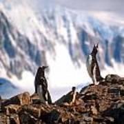 Antarctic Gentoo Penguins Poster