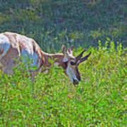 Antelope Near Wildlife Loop Road In Custer State Park-south Dakota- Poster